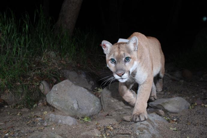 P-22, one of ten mountain lions that the National Park Service is tracking in the Santa Monica Mountains, made his way to Griffith Park by crossing two heavily trafficked highways. Cut off from other lions, he became a local celebrity.