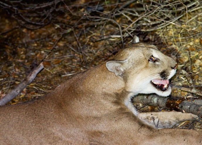 A lion known as P-45 has killed scores of domestic animals—and attracted passionate fans.
